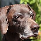 German Shorthaired Pointer by portosabbia