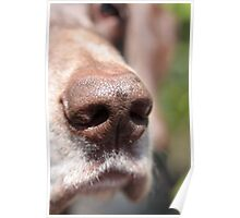 wet pointer nose Poster
