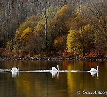 Swan Procession by GraceNotes