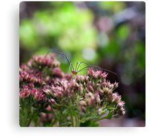 spider in the garden Canvas Print
