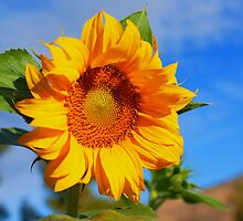 Sunflower by gsddame