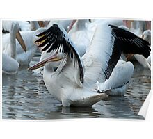 Flapping Pelican Poster