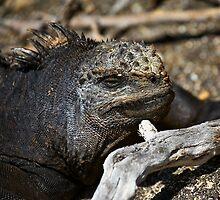 Marine Iguana by citrineblue