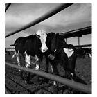 baby cow by Dzek