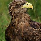 European Eagle (Female) by Anne-Marie Bokslag