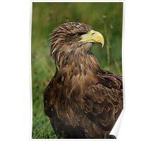 European Eagle (Female) Poster