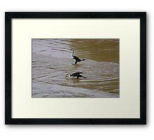 Pied Cormorants Framed Print