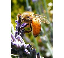 Bee sticking his nose deep into the lavender. Photographic Print