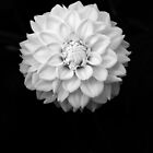 B&W Flower #1 by Sam Davis