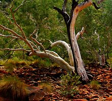 A Ghost Gum at Kings Canyon by myraj