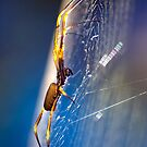 golden orb spider, glowing in the sun by Anthony Wilson