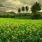 Sunflower harvest by Saikat Babin Biswas