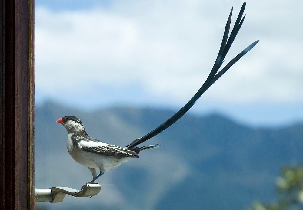 Pin Tailed Whydah by serendip