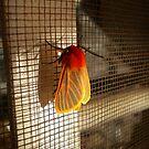 Malawi: colourful moth by Anita Deppe