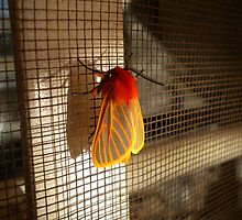 Malawi: colourful moth by Anita Deppe