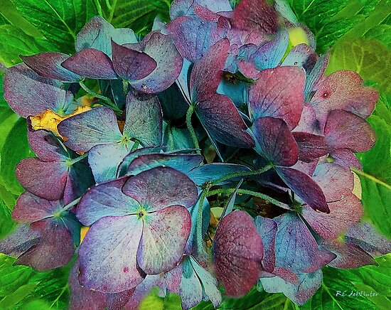 French Hydrangea Rainbow by RC deWinter