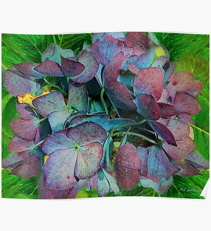 French Hydrangea Rainbow Poster