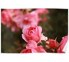 Is still a Rose Poster