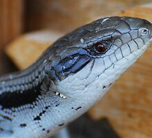 Blue Tongue by KeepsakesPhotography Michael Rowley