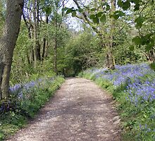 Bluebells in England by David Dutton
