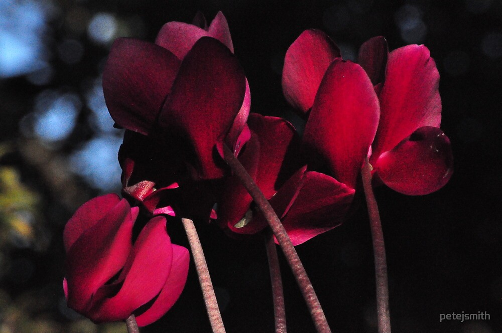 Cyclamen up close by petejsmith