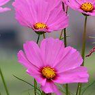 pink petals by click67