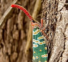 Who am I? - Planthopper-Fulgoridae!?-genus?-sp.? by AsiaArchaeology