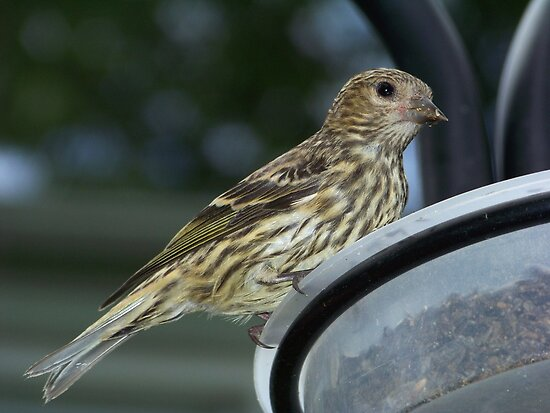 A Pine Siskin up close and personal. by William Brennan