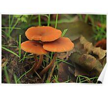 Deceiver Mushroom  Poster