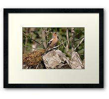 A Chaffinch Sings Framed Print