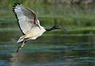 Sacred Ibis by Macky