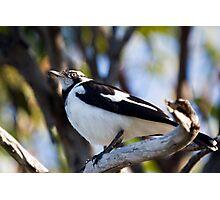 Australian Magpie-Lark perching Photographic Print