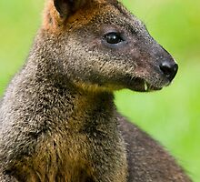 Australian Swamp Wallaby  by PurelyPrime