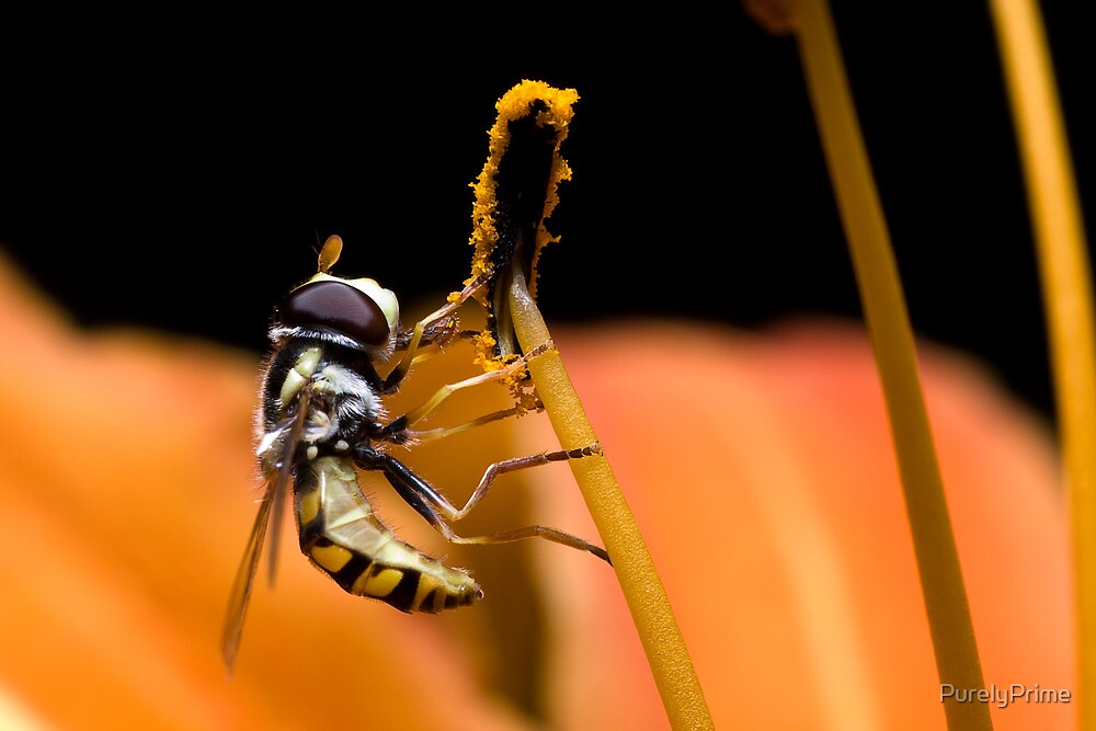 Hoverfly eating pollen of lily by PurelyPrime