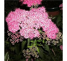 Spirea Photographic Print