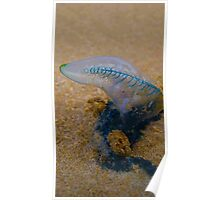 Blue bottle jelly fish ( Double Island Point ) Poster