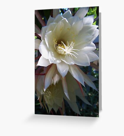 Two Epiphyllum Blossoms Greeting Card