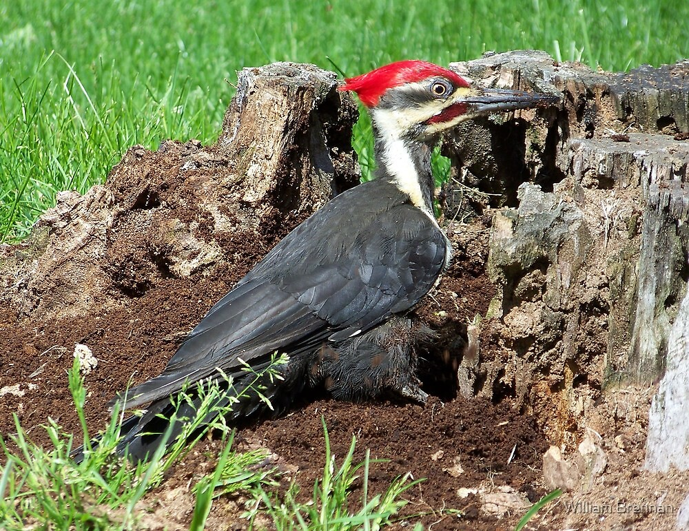 An amazing male Pileated Woodpecker.  by William Brennan