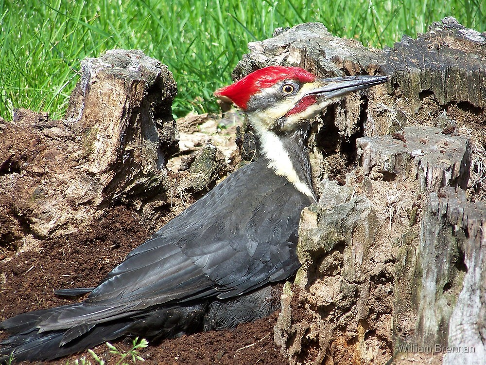 Handsome male Pileated Woodpecker. by William Brennan