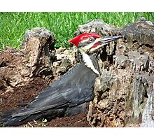 Handsome male Pileated Woodpecker. Photographic Print