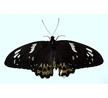 CAIRNS BIRDWING BUTTERFLY female Photographic Print