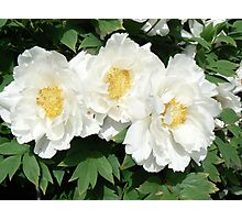 White Peonies Photographic Print