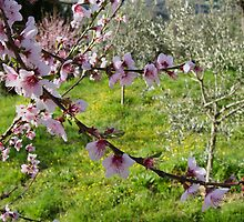 Cherry Blossom in Olive Grove by Erin Kanoa