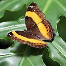 Australian Lurcher Butterfly by Kelly Robinson