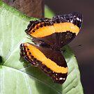 Australian Lurcher Butterfly II by Kelly Robinson