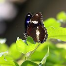 Blue Banded Eggfly Butterfly by Kelly Robinson
