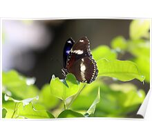 Blue Banded Eggfly Butterfly Poster