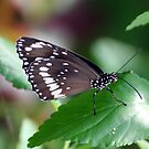 Common Crow Butterfly by Kelly Robinson