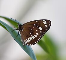 Common Crow Butterfly I by Kelly Robinson