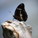 Common Crow Butterfly III by Kelly Robinson